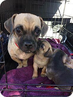 Pug/Dachshund Mix Dog for adoption in Encino, California - Litty