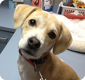 Beagle Mix Puppy for adoption in Spring Valley, New York - Citrine
