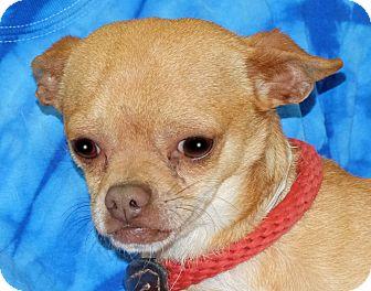 Pug/Chihuahua Mix Dog for adoption in Spokane, Washington - Maximus
