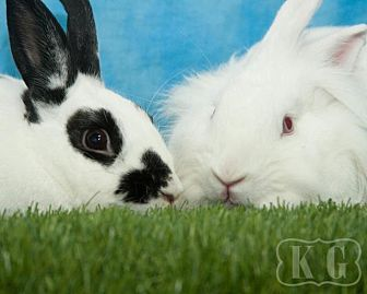 English Spot for adoption in Pflugerville, Texas - Leonard, Opal