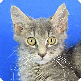 Domestic Mediumhair Kitten for adoption in Carencro, Louisiana - Pop Tart