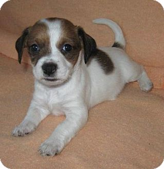 Havanese Mix Puppy for adoption in Plainfield, Illinois - Jelly