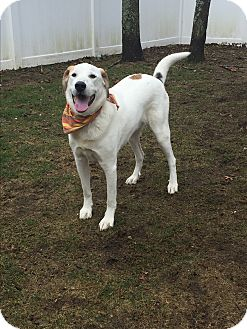 Great Pyrenees/Labrador Retriever Mix Dog for adoption in Peace Dale, Rhode Island - Copper