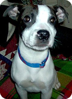 American Pit Bull Terrier/Border Collie Mix Dog for adoption in Tacoma, Washington - Diego
