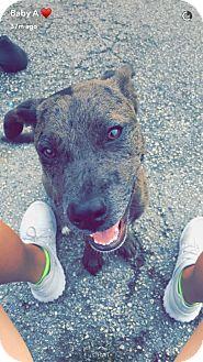 Catahoula Leopard Dog/Labrador Retriever Mix Puppy for adoption in College Station, Texas - Charlie