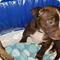 Adopt A Pet :: Captain America - Houston, TX