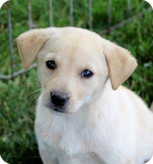 Labrador Retriever Mix Puppy for adoption in Liberty Center, Ohio - Burgundy
