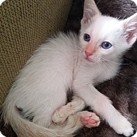Siamese Kitten for adoption in Frazier Park, California - Nova