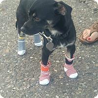 Adopt A Pet :: Doyle - Mesa, AZ
