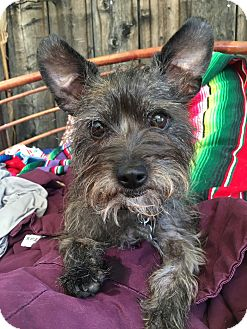 Miniature Schnauzer/Maltese Mix Dog for adoption in beverly hills, California - Daisy