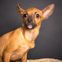Adopt A Pet :: Daniel - Santa Paula, CA
