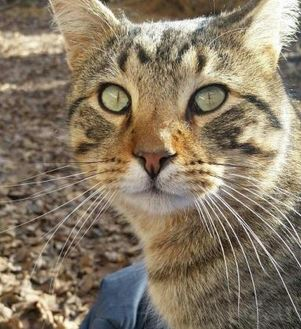 Domestic Shorthair/Domestic Shorthair Mix Cat for adoption in Carroll, Iowa - Leo