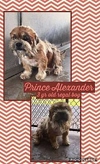 Brussels Griffon/Shih Tzu Mix Dog for adoption in Mesa, Arizona - PRINCE ALEXANDER