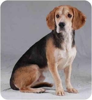 Beagle/Basset Hound Mix Dog for adoption in Chicago, Illinois - Beau(ADOPTED!)