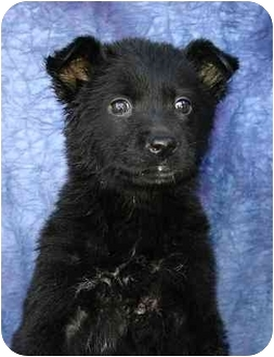German Shepherd Dog Mix Puppy for adoption in Ladysmith, Wisconsin - D0320