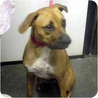 Boxer Mix Dog for adoption in Manassas, Virginia - Jed