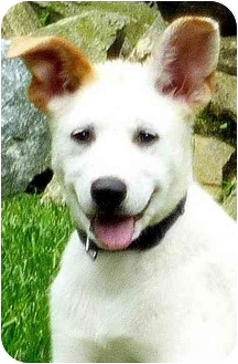 Labrador Retriever/Great Pyrenees Mix Puppy for adoption in Pawling, New York - TEAGAN