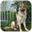 Photo 1 - German Shepherd Dog Dog for adoption in Los Angeles, California - Dodger von Dillenburg