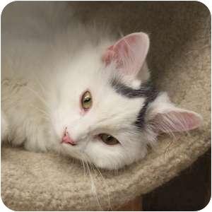 Domestic Longhair Kitten for adoption in Naperville, Illinois - Dovey
