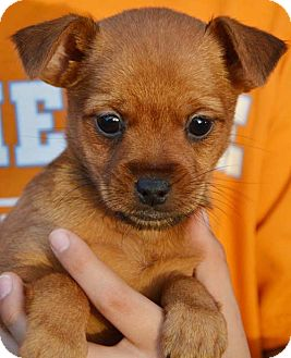 Pomeranian/Chihuahua Mix Puppy for adoption in Hagerstown, Maryland - Deena