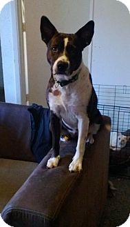 Australian Cattle Dog/Pit Bull Terrier Mix Dog for adoption in Scottsdale, Arizona - Molly- courtesy post