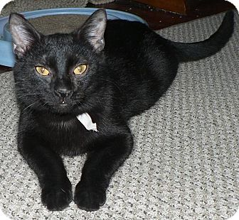Domestic Shorthair Cat for adoption in Hendersonville, Tennessee - Marty