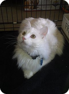 Domestic Longhair Cat for adoption in Edmond, Oklahoma - Maurice