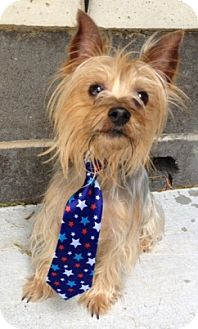 Yorkie, Yorkshire Terrier Mix Dog for adoption in Dublin, California - Mojo