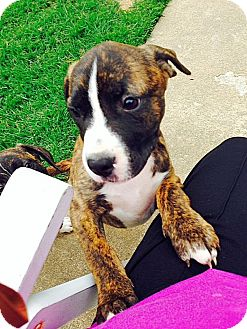 Pit Bull Terrier Mix Dog for adoption in East Hartford, Connecticut - Becca 1 in CT