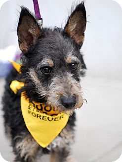 Schnauzer (Miniature)/Terrier (Unknown Type, Small) Mix Dog for adoption in Detroit, Michigan - Chance #2-Adopted!