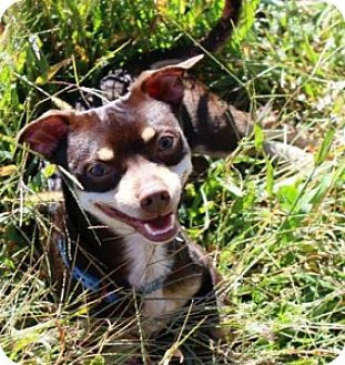 Miniature Pinscher/Chihuahua Mix Dog for adoption in Dunkirk, New York - Peppi