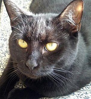 Domestic Shorthair Cat for adoption in Philadelphia, Pennsylvania - Eclipse