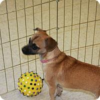 Adopt A Pet :: Dakota - Gilbert, AZ