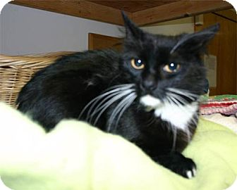 Domestic Mediumhair Cat for adoption in Salem, Oregon - Europa -shelter