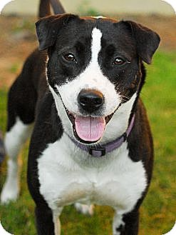 American Pit Bull Terrier/Pit Bull Terrier Mix Dog for adoption in Detroit, Michigan - Dixie-Adopted!