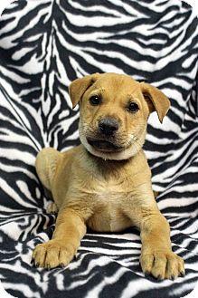 Golden Retriever Mix Puppy for adoption in Westminster, Colorado - Conga