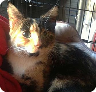 Calico Cat for adoption in Merrifield, Virginia - Checkers