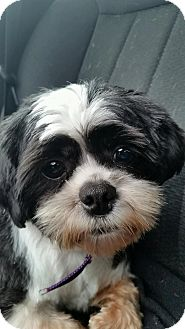 Shih Tzu Mix Dog for adoption in Elyria, Ohio - Hot Sauce