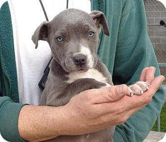 Pit Bull Terrier/Labrador Retriever Mix Puppy for adoption in Lathrop, California - Deja