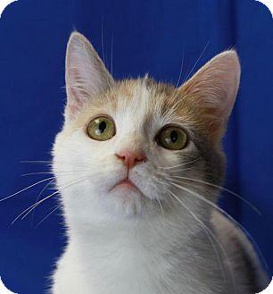 Domestic Shorthair Cat for adoption in Winston-Salem, North Carolina - Carrie