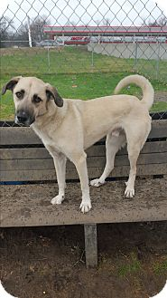 German Shepherd Dog Mix Dog for adoption in Indianola, Iowa - Duke