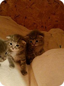 Domestic Shorthair Kitten for adoption in Huntley, Illinois - Spaghetti & Linguine