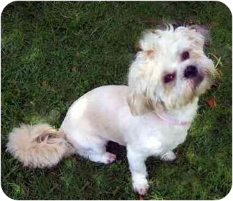 Lhasa Apso Dog for adoption in Los Angeles, California - LILLI