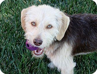 Beagle/Schnauzer (Miniature) Mix Dog for adoption in Bellflower, California - Mitchell - 24 lbs!
