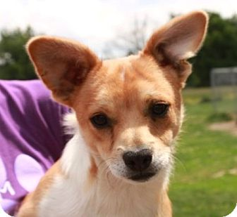 Corgi/Jack Russell Terrier Mix Puppy for adoption in Newark, New Jersey - Hercules
