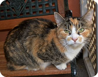 Calico Cat for adoption in Michigan City, Indiana - Angel