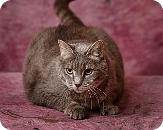 Domestic Shorthair Cat for adoption in Harrisonburg, Virginia - Joy
