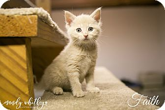 Domestic Mediumhair Kitten for adoption in Columbia, Tennessee - Faith