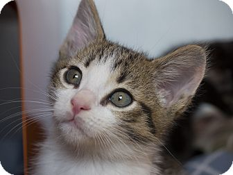Domestic Shorthair Kitten for adoption in Los Angeles, California - Toffee
