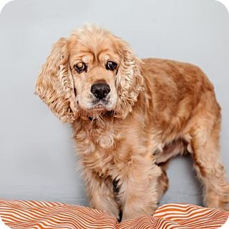 Cocker Spaniel Mix Dog for adoption in Mission Hills, California - Ozzy